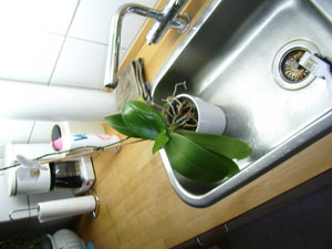 Orkide 1.