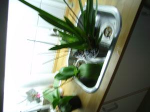 Orkide 4.